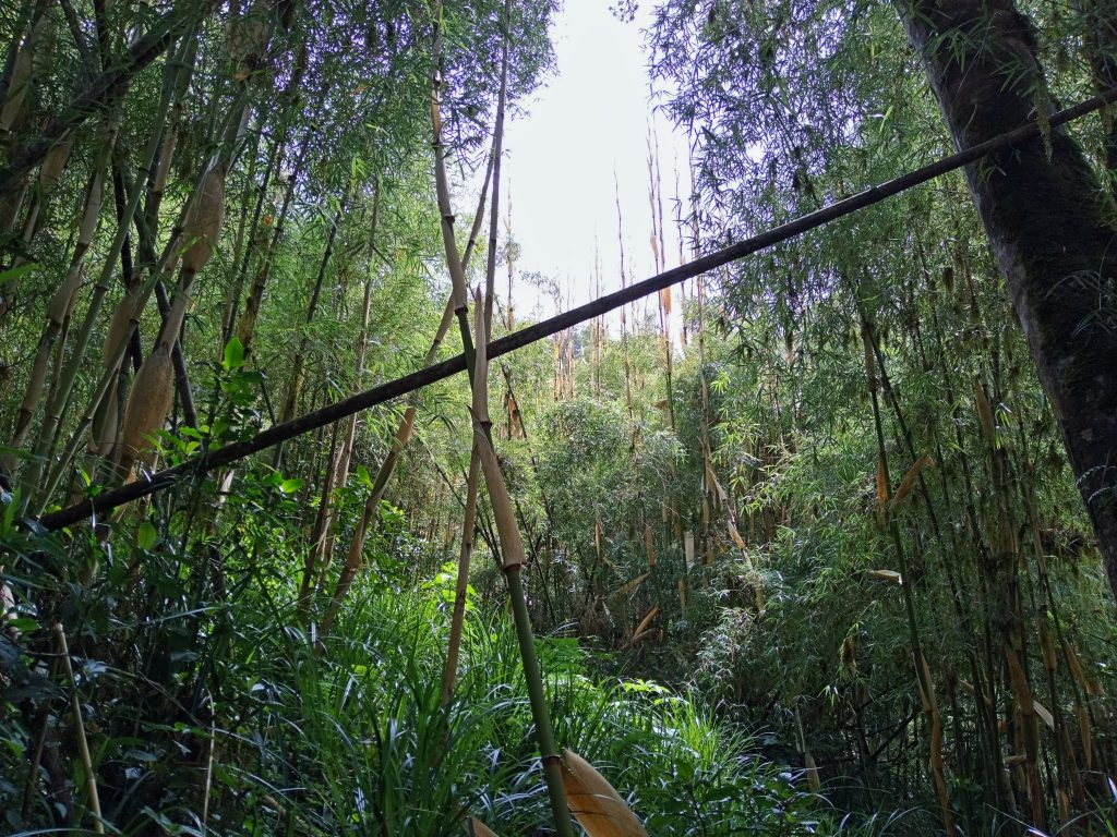 A photo of Bamboo area in Aberdares Forest
